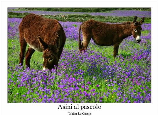 Asini al pascolo - Vizzini (11550 clic)