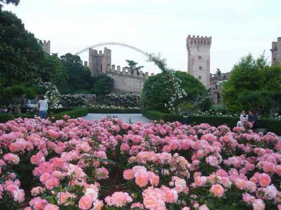 ESTE(Padova) trionfo di rose a maggio (2481 clic)