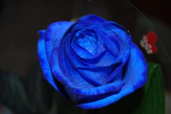 Rosa blu - Ortona (2607 clic)