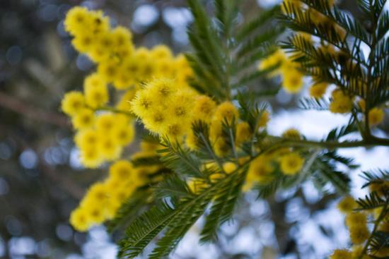 Mimosa! - Ortona (1414 clic)