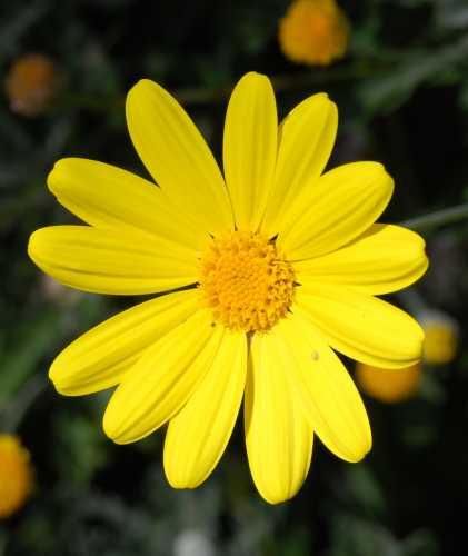 Margherita gialla - Ortona (3198 clic)
