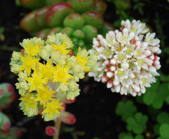 Fiori di pianta grassa - Ortona (1359 clic)