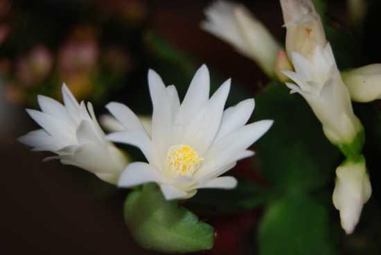 Fiori di pianta grassa - Ortona (1516 clic)
