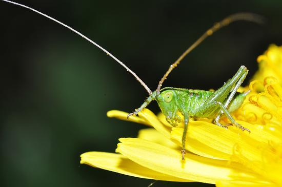 a green grasshopper. - Crema (605 clic)