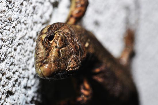 reptile. - Crema (337 clic)