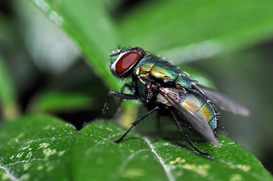green fly - CREMA - inserita il 20-Feb-15