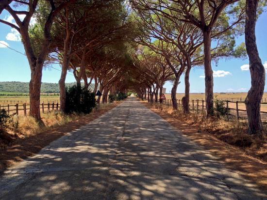 il viale alberato - Alberese (1062 clic)