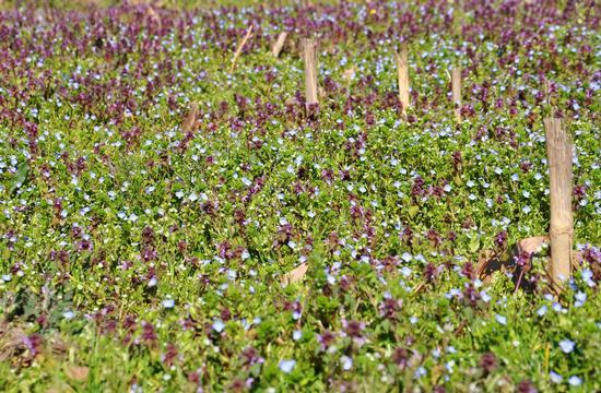 primavera - Crema (613 clic)