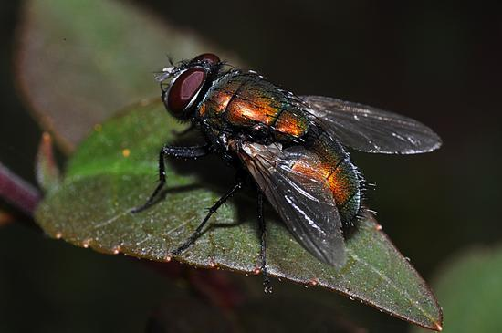 mosca rossa - Crema (1878 clic)
