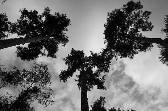 three trees - Crema (428 clic)