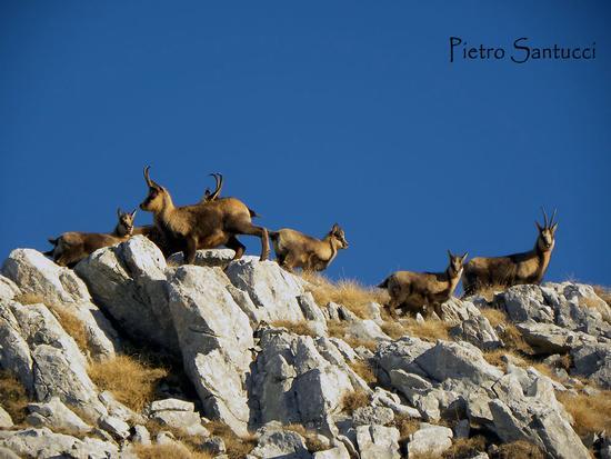 Camosci sul Monte Meta nel Parco Naz. d'Abruzzo. - Civitella alfedena (3001 clic)