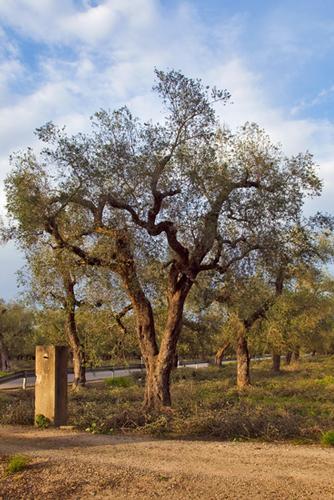Paesaggio Salentino - Gli antichi alberi di olivo nella campagna salentina - Scorrano (3487 clic)