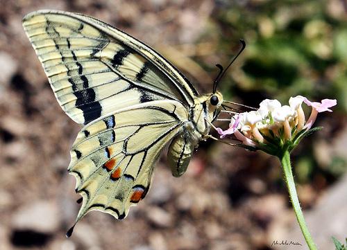 Macaone (Papilio machaon) - Serramanna (2580 clic)