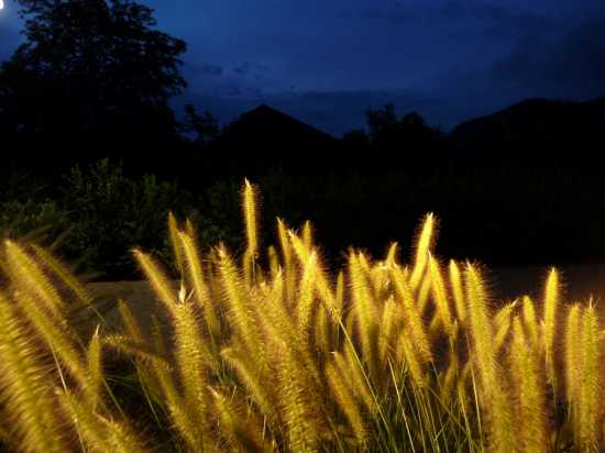 Pennisetum Compressum.Un aluce e tutto è oro - Caldaro (2399 clic)
