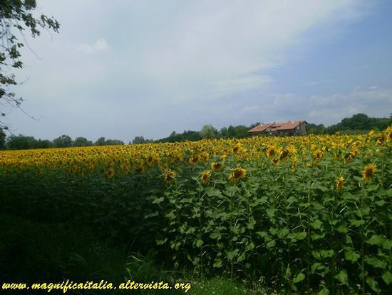 Un mare di girasoli - Cesena (2167 clic)