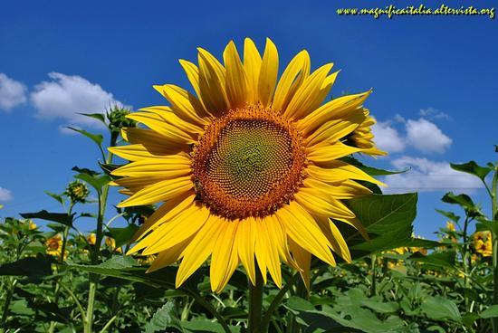 Sunflower - Poggio berni (1923 clic)