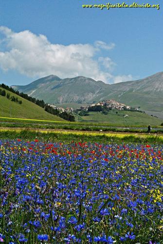 L'esplosione di colori della fioritura - Castelluccio (3685 clic)