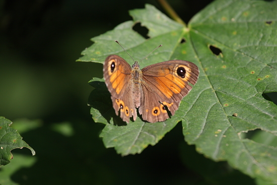 Farfalla - Erba (1733 clic)