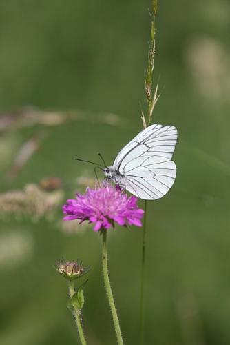 Farfalla - Erba (1727 clic)