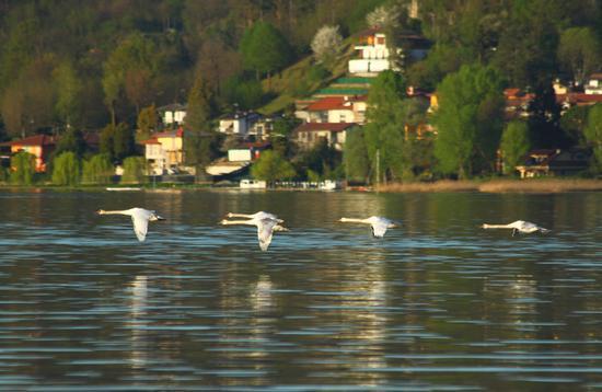 Giovani cigni in volo sul lago, 1, Lago Maggiore (Verbano) aprile 2011 - DORMELLETTO - inserita il 12-Apr-11