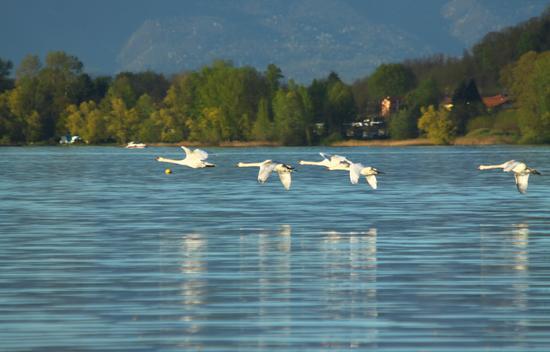 Giovani cigni in volo sul lago, 2, Lago Maggiore (Verbano) aprile 2011 - Dormelletto (1520 clic)