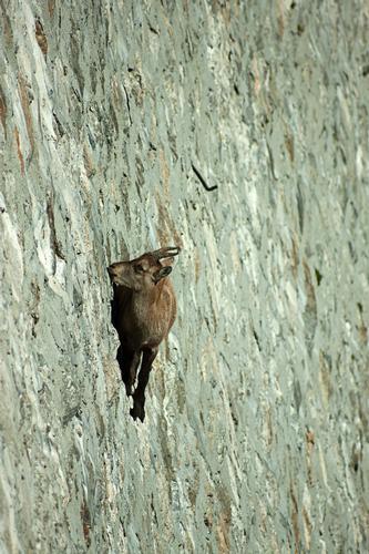 Rupicapra ibex freeclimber, 2. Diga del Cingino, val Antrona - Antrona schieranco (1121 clic)