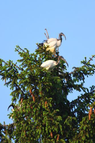 Colonia di Ibis (Threskiornis aethiopicus) a Vespolate, Novara, Piemonte aprile 2011 (680 clic)