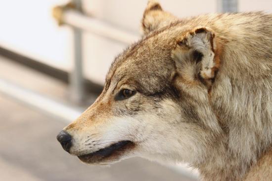 E l'uomo incontrò il lupo, Arona museo archeologico dal 25 settembre al 20 novembre 2011 (2311 clic)