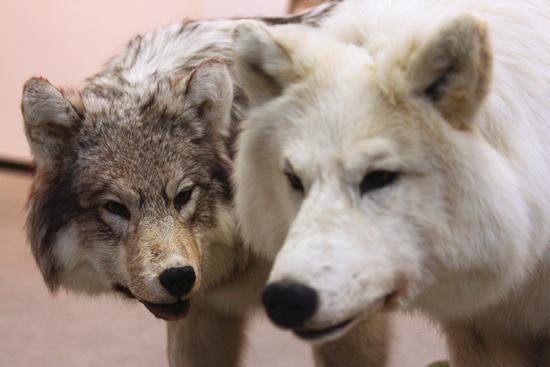 E l'uomo incontrò il lupo, Arona museo archeologico dal 25 settembre al 20 novembre 2011 (2329 clic)
