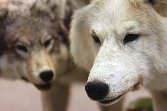 E l'uomo incontrò il lupo, Arona museo archeologico dal 25 settembre al 20 novembre 2011 (2377 clic)