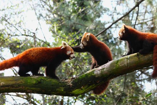 Ti nomino cavaliere! Panda minore, parco la Torbiera, Agrate Conturbia (1707 clic)