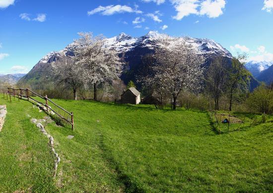 Ciliegi in fiore a Bugliaga, Trasquera, val Divedro maggio 2013 (1187 clic)