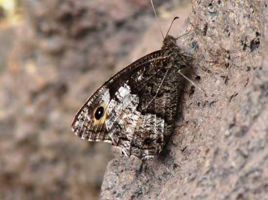 farfalla - Etna (2631 clic)