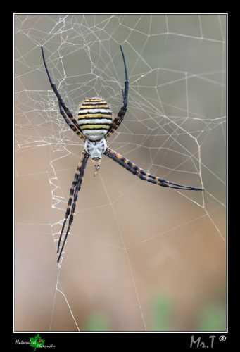 Argiope Trifasciata - Caltagirone (2580 clic)