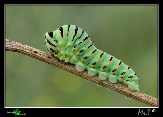 Bruco di Papilio Macaone - Caltagirone (3342 clic)