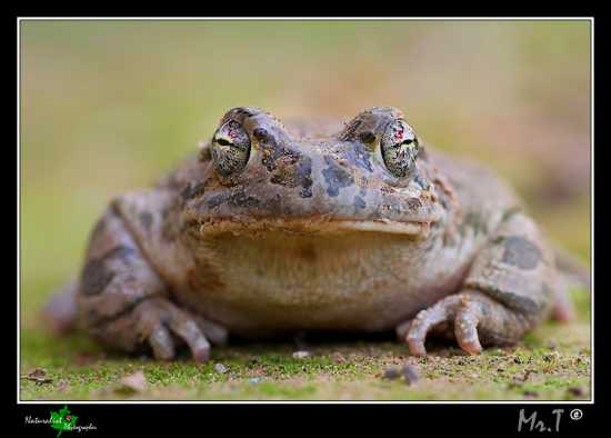Bufo siculus frontale - Caltagirone (2572 clic)