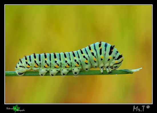Papilio Macaone - Caltagirone (2764 clic)