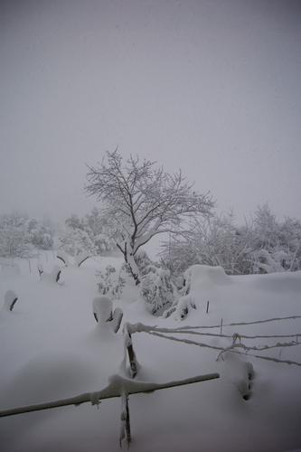 Ciliegio sotto la neve - San giorgio di pesaro (1956 clic)