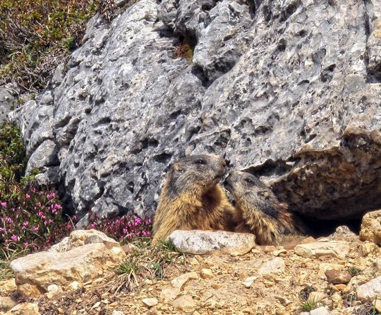 Tenerissime marmotte - Passo falzarego (2775 clic)