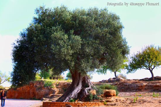 I Templi di Agrigento (495 clic)