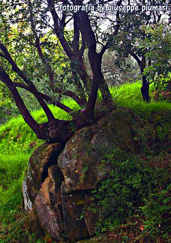 albero dentro la roccia. - Motta camastra (2232 clic)