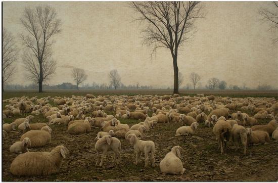 Il lupo non si preoccupa di quante siano le pecore.  - Liscate (2158 clic)