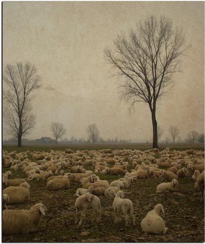 Il lupo non si preoccupa di quante siano le pecore. - Liscate (1915 clic)