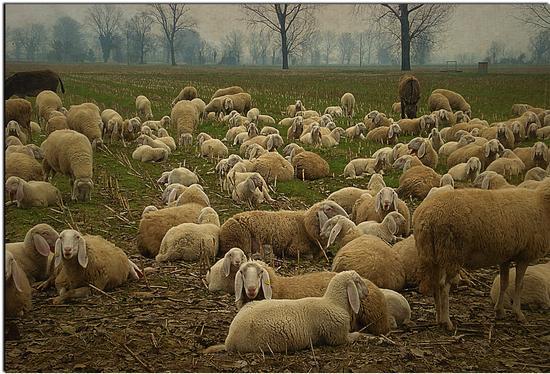 Il lupo non si preoccupa di quante siano le pecore. - Liscate (2311 clic)