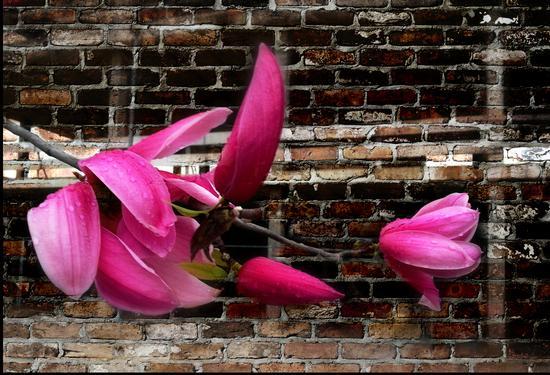 Magnolia Purpurea - Melzo (483 clic)