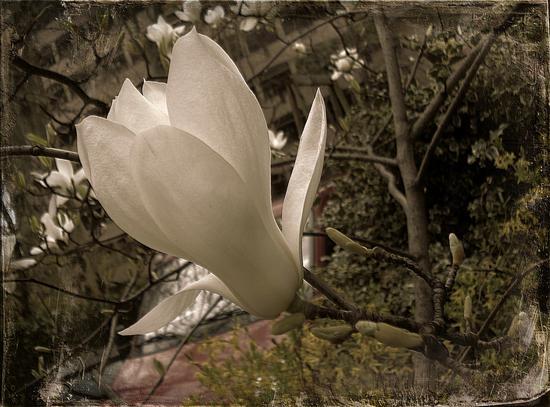 Magnolia Vintage - Melzo (775 clic)