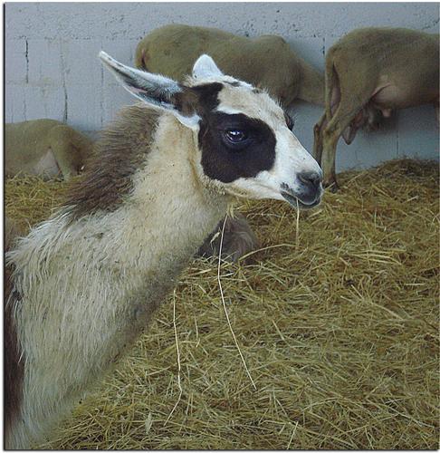 Il Lama - Arzago d'adda (1563 clic)