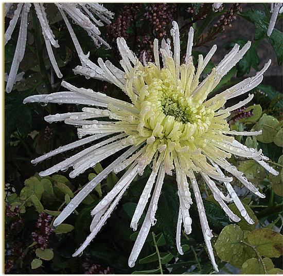 Spider Chrysanthemum - Arese (1179 clic)