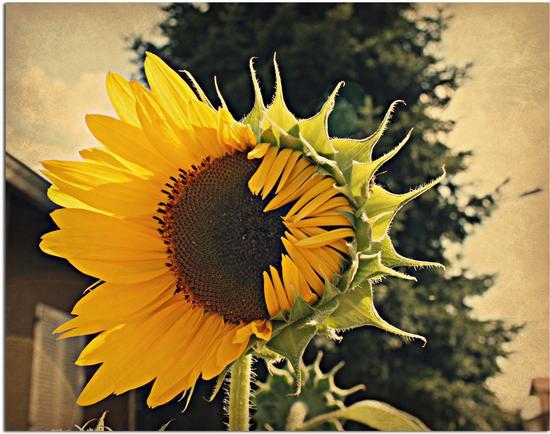 Per ripararsi dal sole............. - Melzo (1805 clic)