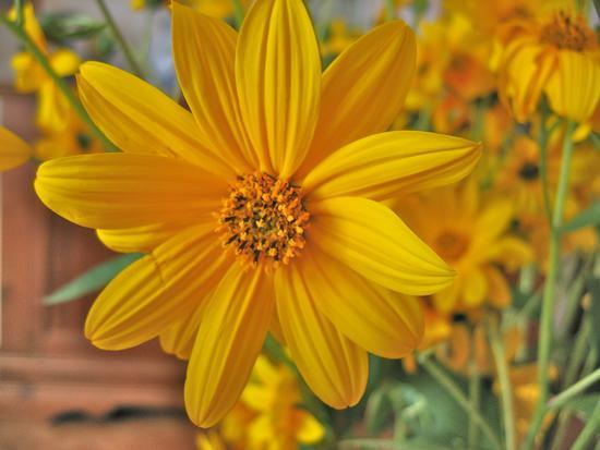 fiore di Topinambur margherita selvatica raccolta a Forlimpopoli (FC) (3376 clic)
